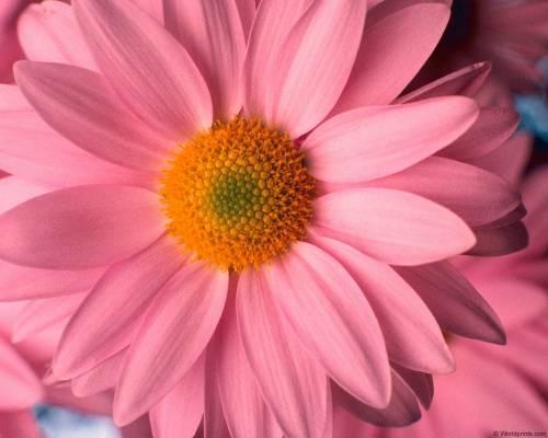 Какие бывают георгины разновидности цветов георгин с фото